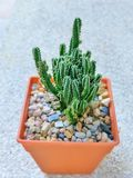 Le groupe du long-shap-cactus, l'épine blanche ont la petite fleur dans le pot orange Photo stock