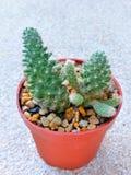 Le groupe du long-shap-cactus, l'épine blanche ont la petite fleur dans le pot orange Image libre de droits