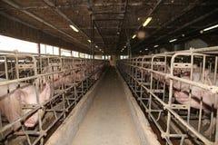 Le groupe du porc puissant sème la nourriture de attente dans la barre Photographie stock libre de droits