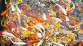 Le groupe en gros plan de poissons colorés de merde sur la vue supérieure s'accumulent en parc national, foule du bain animal d'e Image stock