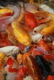 Le groupe en gros plan de poissons colorés de merde sur la vue supérieure s'accumulent en parc national, foule du bain animal d'e Photos libres de droits