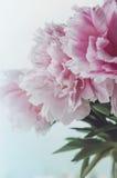 Le groupe frais de roses roses de pivoines fleurit, feuille verte dans le vase en verre sur le filon-couche de fenêtre, fond blan Image stock