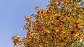 Le groupe mûr rouge de sorbe avec la sorbe verte part en automne branche rouge colorée automnale de sorbe groupe d'ashberry orang images libres de droits