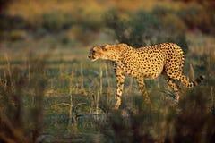 Le guépard chasse Photo libre de droits