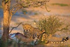 Le guépard chasse Photos libres de droits