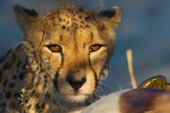 Le guépard chasse Photographie stock