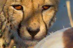 Le guépard chasse Photos stock