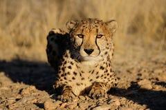 Le guépard regarde Image libre de droits