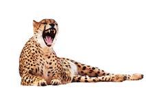 Le guépard a repéré d'isolement au blanc photos stock
