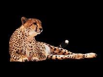 Le guépard a repéré d'isolement au noir image libre de droits