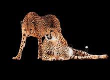 Le guépard a repéré des couples d'isolement images stock