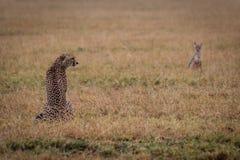 Le guépard se repose dans l'herbe observée par le chacal image stock