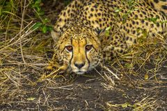 Le guépard se tapit prêt à sauter image stock