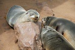 Le guarnizioni di pelliccia che fanno un sonnellino al capo attraversano la colonia di foche in Namibia Immagini Stock Libere da Diritti