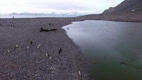 Le guarnizioni ed i pinguini riposano su una spiaggia di pietra Andreev archivi video