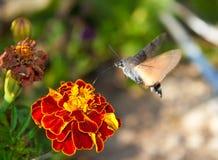 Le guindineau boit du nectar d'une fleur Image libre de droits