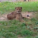 Le guépard regardent fixement vers le bas Image libre de droits
