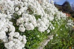 Le gypsophila blanc de Terry fleurit richement dans un parterre dans le jardin photographie stock libre de droits
