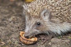 Le hérisson mange la noix Image libre de droits