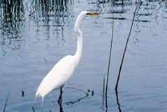 Le héron blanc Image stock