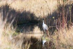 Le héron blanc de l'Egypte a au-dessus de l'eau Photographie stock libre de droits