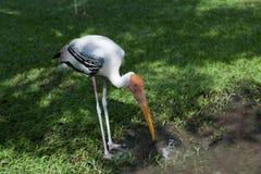 Le héron blanc recherchent la nourriture dans le zoo, la Thaïlande Image libre de droits