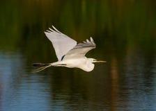 Le héron blanc vole au-dessus de l'étang Photographie stock libre de droits