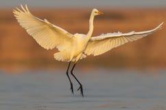 Le héron de grand blanc photograped dans la lumière molle étonnante de matin Atterrissage de héron de grand blanc le début de la  Images libres de droits