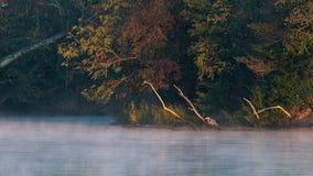 Le héron de grand bleu rentre la lueur d'or du lever de soleil Photographie stock