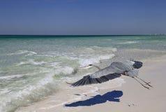 Le héron de grand bleu volant au-dessus de la plage le moulant est Shad distinctif Photos stock