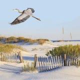 Le héron de grand bleu vole au-dessus d'une plage blanche de sable Image stock