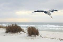 Le héron de grand bleu vole au-dessus d'une plage de la Floride au crépuscule Photo stock