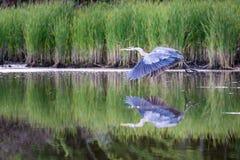 Le héron de grand bleu vole avec un jumeau photographie stock