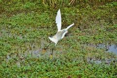 Le héron de Milou vole au-dessus de l'eau Photographie stock libre de droits
