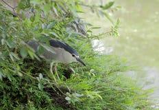 Le héron de nuit couronné se cachent dans les broussailles Image stock