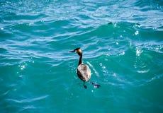 Le héron flotte dans l'eau de mer waterfowl Photographie stock libre de droits