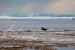 Le héron noir à la mer chasse à marée basse Photographie stock libre de droits