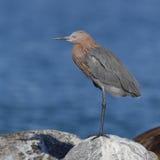 Le héron rougeâtre était perché sur une roche - la Floride photos stock
