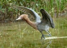 Le héron rougeâtre, ailes s'est soulevé, pataugeant dans un marais d'eau de mer en Flor images stock