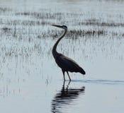 Le héron s'est tenu dans le lac juste attendant et observant Photographie stock