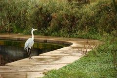 Le héron se tient du côté de lac Photo libre de droits