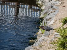 Le héron vert pêche un poisson argenté sur le rivage rocheux de lac Photos stock