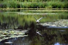 Le héron vole au-dessus du lac ensuite s'étant reposé pendant quelque temps images stock