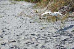 Le héron vole sans effort le long de Boca Raton Beach Duneline images stock