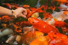 Le haematopterus de Koi Cyprinus carpio, une forme de carpe d'élevage, poisson a alimenté de la main Images libres de droits