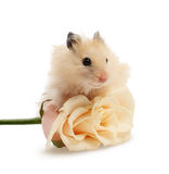 Le hamster avec s'est levé Image stock