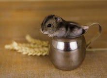 Le hamster dans un becher en verre sur une surface en bois avec du blé égrappe Images libres de droits