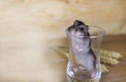 Le hamster dans un becher en verre sur une surface en bois avec du blé égrappe Photographie stock