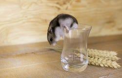 Le hamster dans un becher en verre sur une surface en bois avec du blé égrappe Photos stock