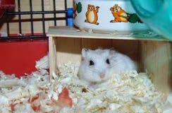 Le hamster le plus mignon jamais Images libres de droits